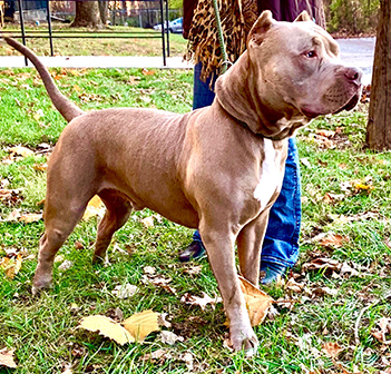 xxl american bully for sale